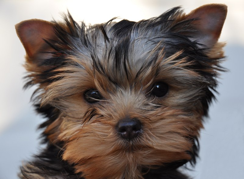 Paco, the newest Yorkie puppy on the block. 12 Weeks Old.